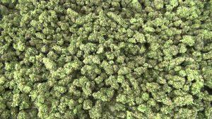Prawidłowe suszenie i konserwacja marihuany., JamaicaSeeds.pl