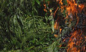 Kalifornia: pożary lasów zagrażają 9.000 farm cannabisowym, JamaicaSeeds.pl