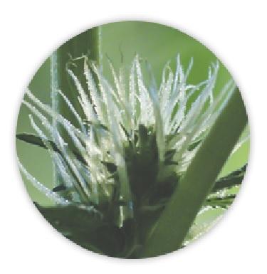 Anatomia Rośliny Marihuany, JamaicaSeeds.pl