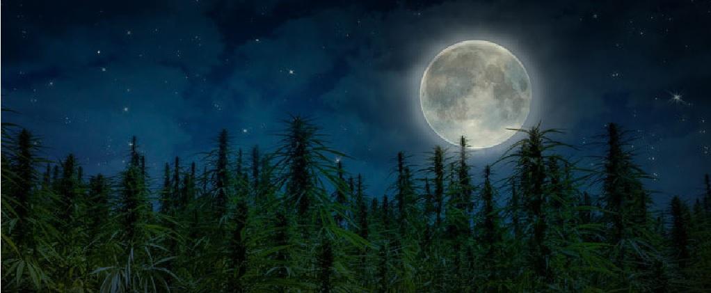 Ogrodnictwo Księżycowe i Cannabis: Wykorzystanie Księżyca dla Lepszych Efektów Uprawy, JamaicaSeeds.pl