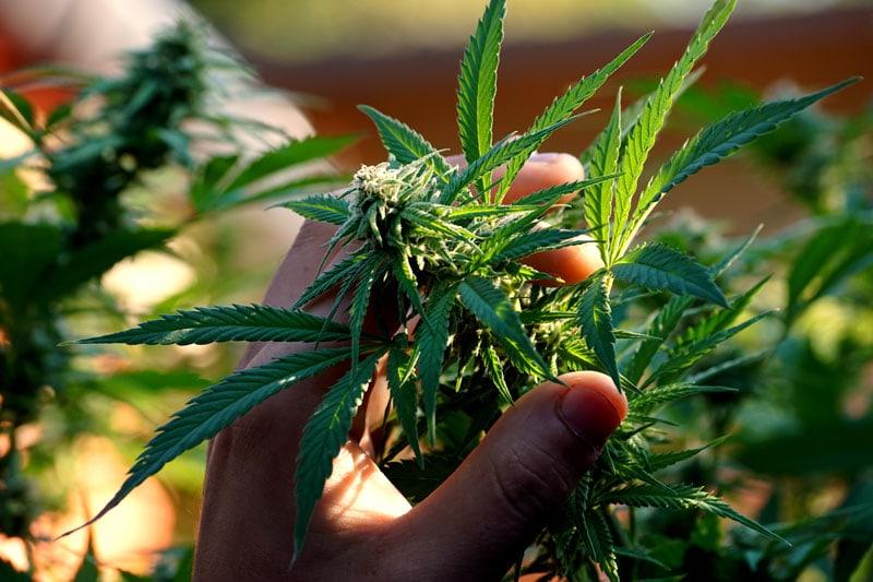 """""""Cannabis na Receptę Niekoniecznie Oznacza, że Jest Refundowany Przez Kasę Chorych."""", JamaicaSeeds.pl"""